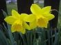 Påsklilja  2008-04-12 Bild 019