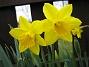 Påsklilja  2008-04-12 Bild 020