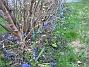 Scilla  2008-04-12 Bild 043