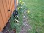 Påsklilja  2008-04-12 Bild 059