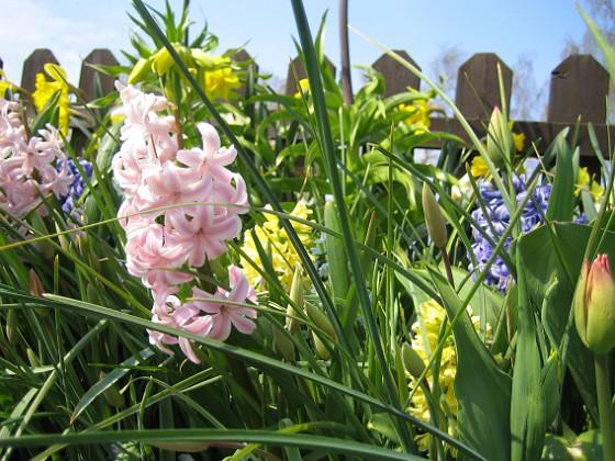 Hyacinter &nbsp 2008-04-26 Bild 019 Granudden Färjestaden Öland