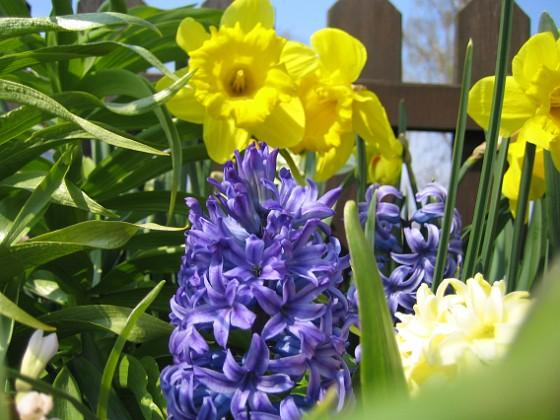 Hyacint &nbsp 2008-04-26 Bild 037 Granudden Färjestaden Öland