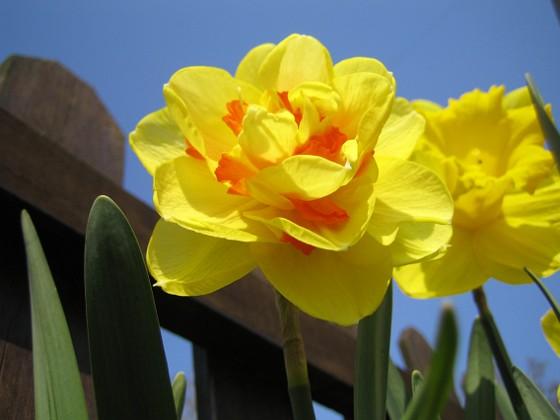 Narciss &nbsp 2008-04-26 Bild 047 Granudden Färjestaden Öland