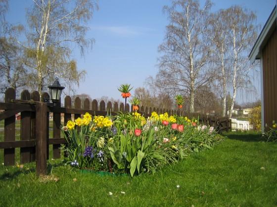 Påskliljor &nbsp 2008-04-26 Bild 097 Granudden Färjestaden Öland