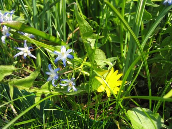 Vårstjärna &nbsp 2008-04-26 Bild 125 Granudden Färjestaden Öland