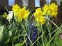 Påsklilja  2008-04-26 Bild 018