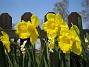 Påsklilja  2008-04-26 Bild 026