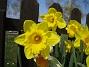 Påsklilja  2008-04-26 Bild 030
