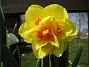 Narciss  2008-04-26 Bild 031
