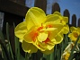 Narciss  2008-04-26 Bild 043