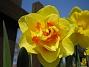 Narciss  2008-04-26 Bild 044