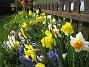 påskliljor  2008-04-26 Bild 063