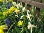 Pingstliljor  2008-04-26 Bild 066