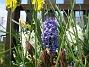 Hyacinter  2008-04-26 Bild 081