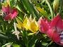 Vildtulaner  2008-04-26 Bild 085