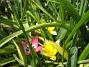 Vildtulaner  2008-04-26 Bild 086