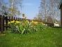 Påskliljor  2008-04-26 Bild 093
