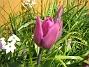 Tulpan  2008-04-26 Bild 100
