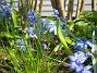 Scilla  2008-04-26 Bild 112
