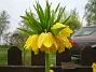 Kejsarkrona  2008-05-01 Bild 014