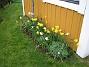 Påskliljor  2008-05-01 Bild 022