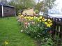 Tulpaner  2008-05-01 Bild 058