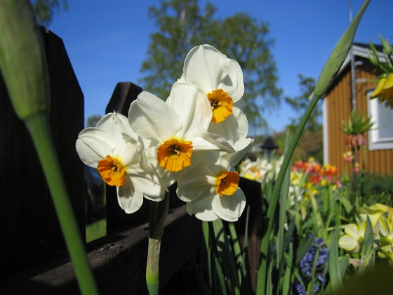 Narcisser { Vackra flerblommiga Narcisser. }