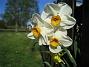 Narcisser Vackra flerblommiga Narcisser. 2008-05-08 Bild 007