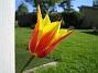 En ynka liljeblommig tulpan har jag. (2008-05-08 Bild 030)