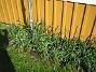 Bild 058 Norra Gaveln. Kärleksörten dominerar redan. Det skall växa Lupiner här också och så skall jag ha slingerväxter upp längs antennmasten! 2008-05-08 Bild 058