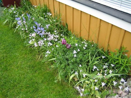 Morgonstjärna  2008-05-17 Bild 039 Granudden Färjestaden Öland
