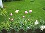 Tulpaner  2008-05-17 Bild 006