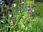 Allium  2008-05-17 Bild 011