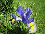 Iris  2008-06-01 Bild 014