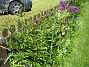 Allium  2008-06-01 Bild 015