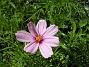 Rosenskära  2008-06-01 Bild 037