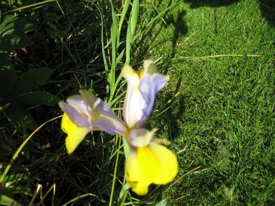 Iris &nbsp 2008-06-07 Bild 036 Granudden Färjestaden Öland