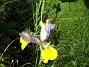 Iris  2008-06-07 Bild 036