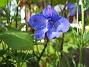 Riddarsporre  2008-06-20 Bild 052