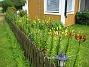 Lliljor  2008-06-29 Bild 004