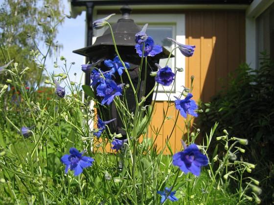 Riddarsporre &nbsp 2008-07-01 Bild 025 Granudden Färjestaden Öland