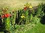 Liljor  2008-07-02 Bild 005