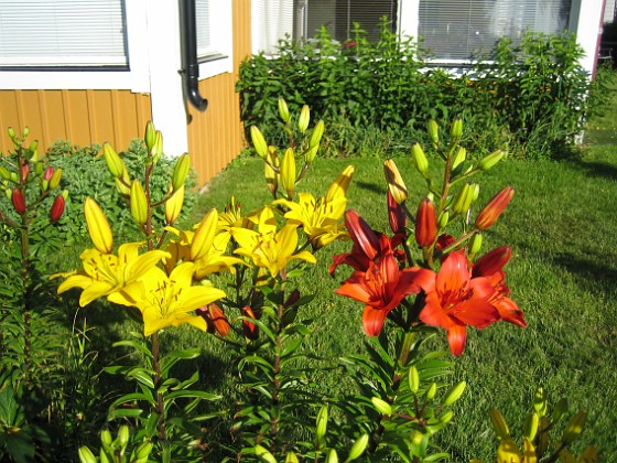 Liljor { Här har vi röda och gula Liljor. }