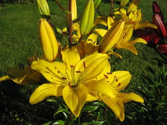 Liljor { De gula liljorna lyser som solar. }
