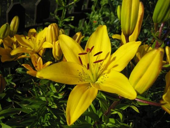 Liljor { Nu når solen bara själva blommorna, resten är i skugga. }