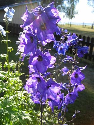 Riddarsporre { Solen lyser igenom blommorna! }