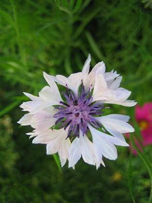 Blåklint { Blåklint är alltid vacker i närbild, fast den här är vit... }