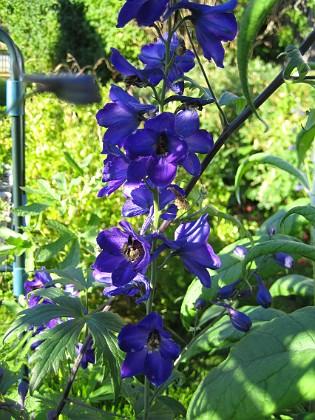 Riddarsporre { En intensivt blå Riddarsporre (fotot gör inte färgen rättvisa). }
