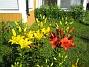Liljor Här har vi röda och gula Liljor. 2008-07-04 Bild 005