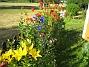 Studentnejlika En blandning av gult, blått och rött. 2008-07-04 Bild 026